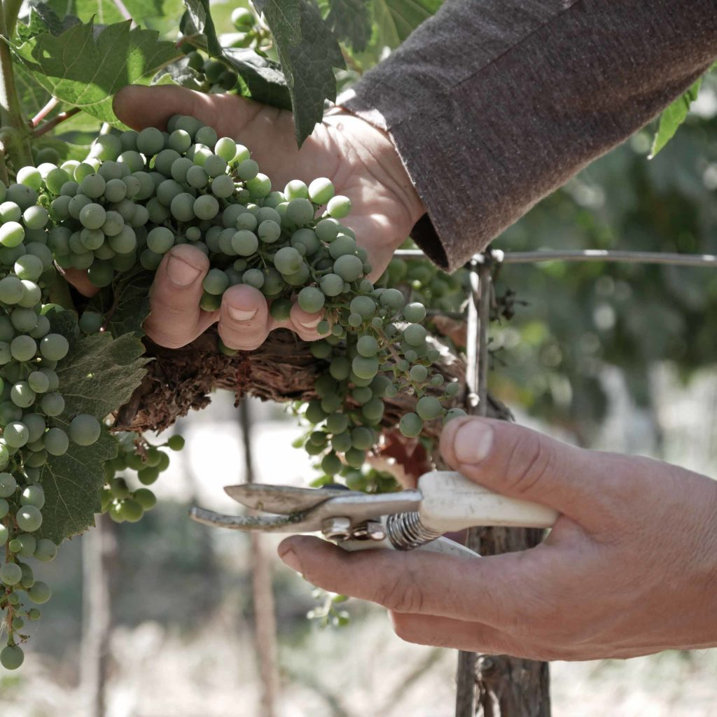 Israeli Wine Grapes