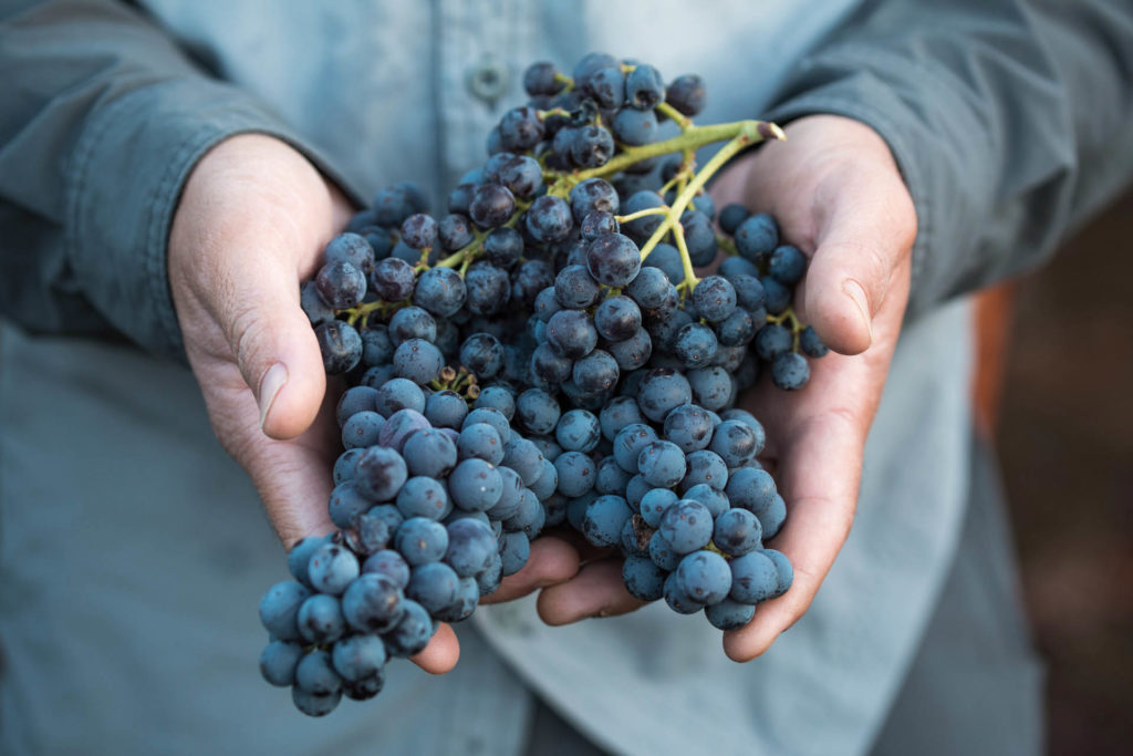 Israeli wine grapes in hands