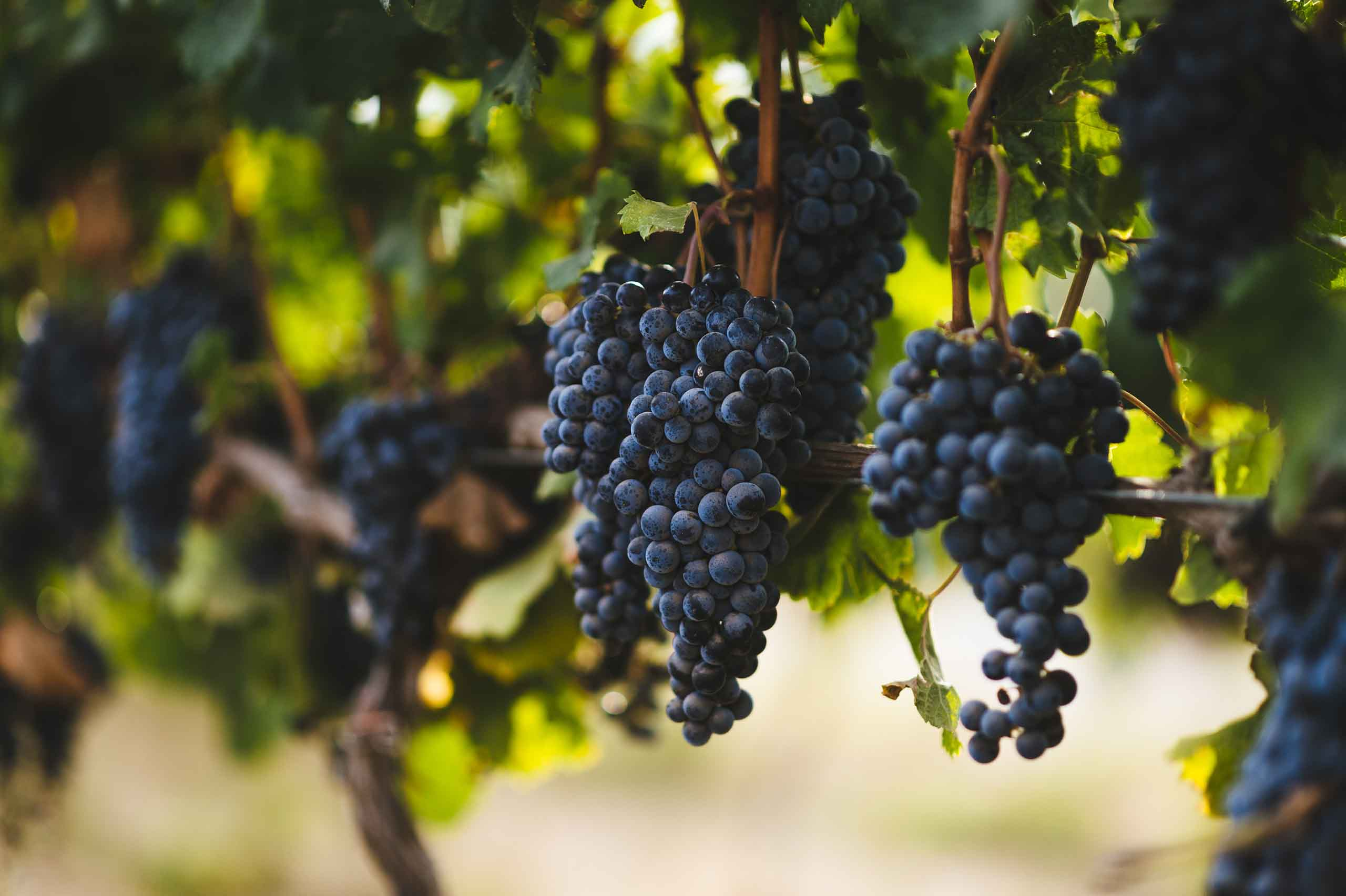 Israeli Wine Grapes 2