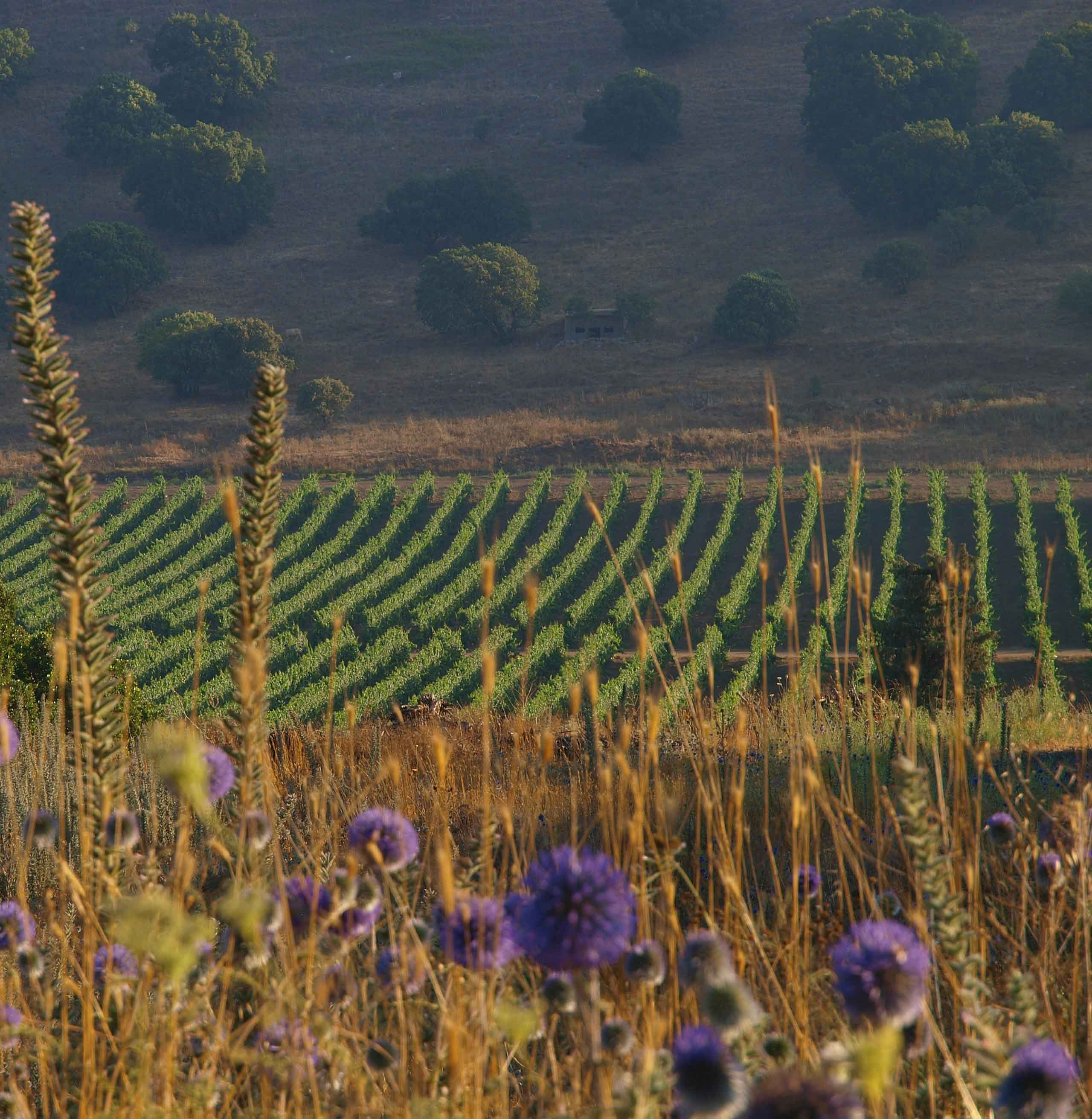 Israeli Wines - Side view of vineyard